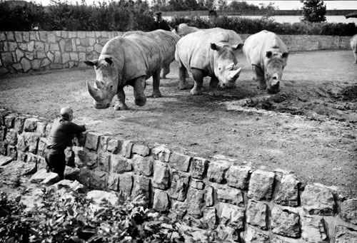 Josef Vágner mit selteneJosef Vágner mit seltenen Breitmaulnashörnern im Zoo