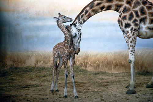 Aus dem Archiv des Czech Photo Centre: Giraffen im Prager Zoo